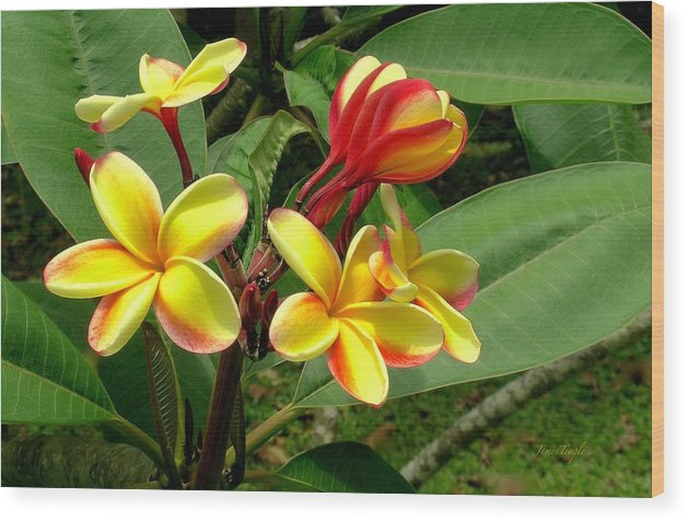 Plumeria Wood Print featuring the photograph Plumeria Dance by James Temple
