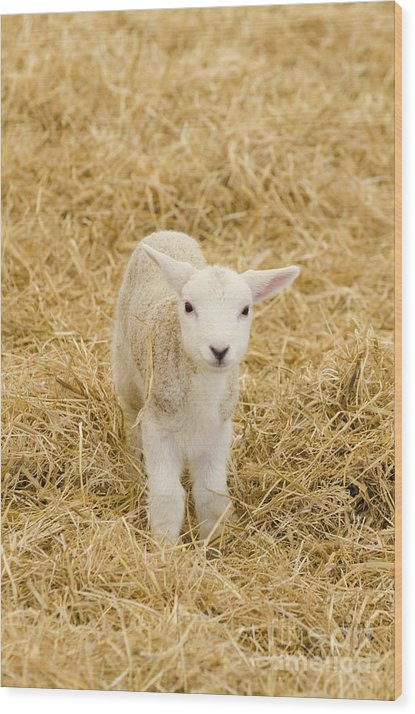 Lamb Wood Print featuring the photograph Spring Lamb by Steev Stamford