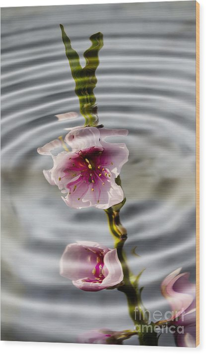 Still Life Wood Print featuring the photograph Nectarine Ripples by Steev Stamford