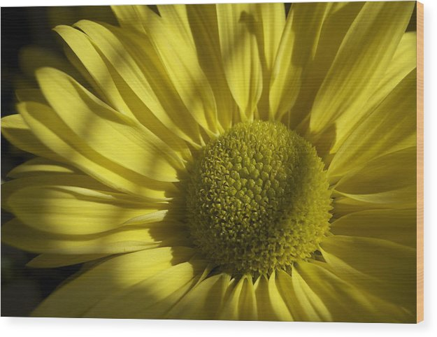 Daisy Wood Print featuring the photograph Afternoon Yellow by Michele A Morgan