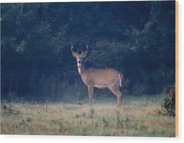 Deer Wood Print featuring the photograph 072106-25 by Mike Davis