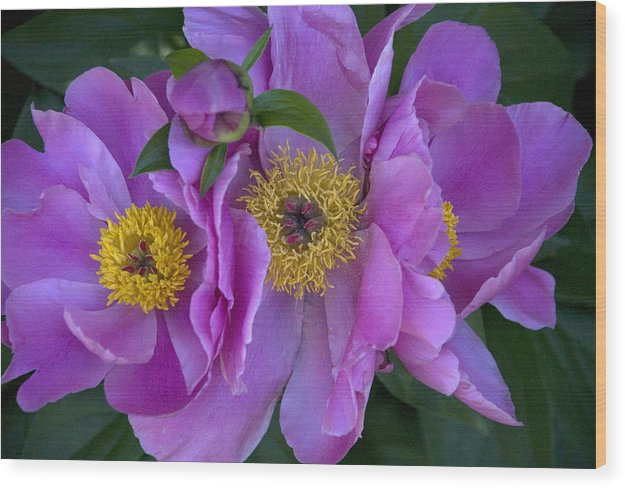 Flowers Wood Print featuring the photograph Peonies by Jessica Wakefield