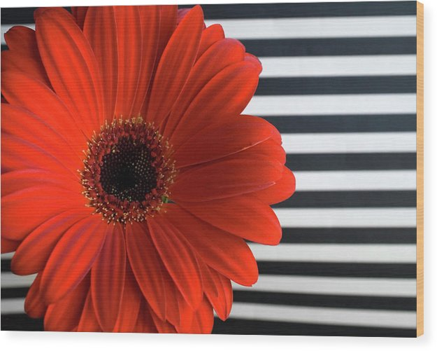 Flower Wood Print featuring the photograph Gerber Daisy by Jessica Wakefield