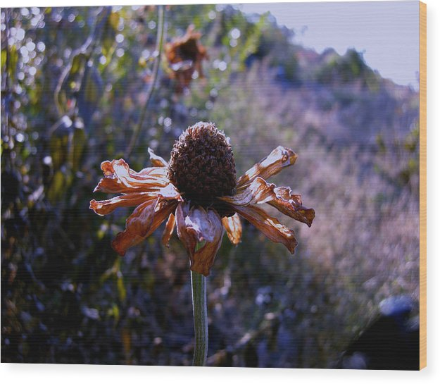 Zinnia Flowers Wood Print featuring the photograph Zinnia In Fall by Ivan Rijhoff
