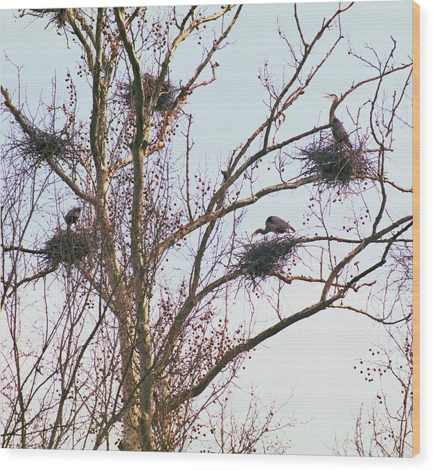 Birds Wood Print featuring the photograph 100408-2 Nesting Great Blue Herons by Mike Davis