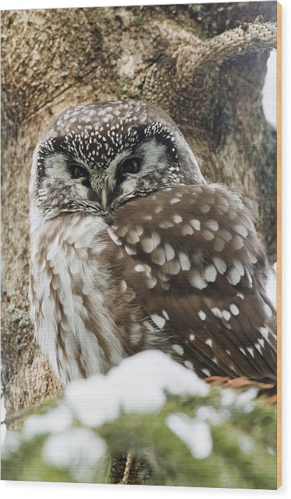 Boreal Owl Wood Print featuring the photograph Boreal Owl Pictures by Owl Images