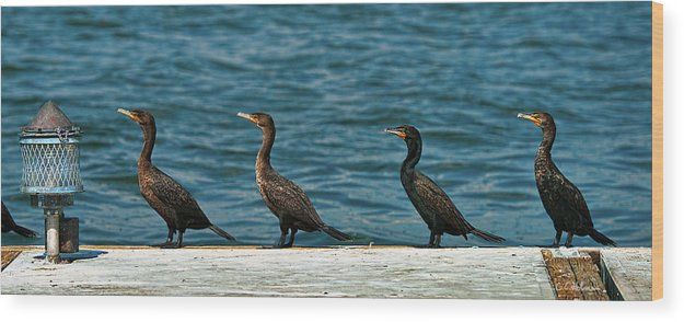 Cormorant Wood Print featuring the photograph All In A Row by Christopher Holmes