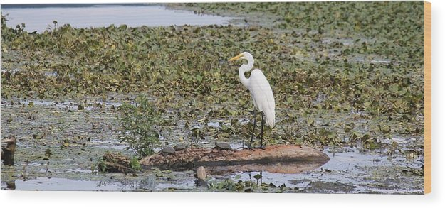 Egret Wood Print featuring the photograph Egret And Turtles by Charles Van Wagenen Jr