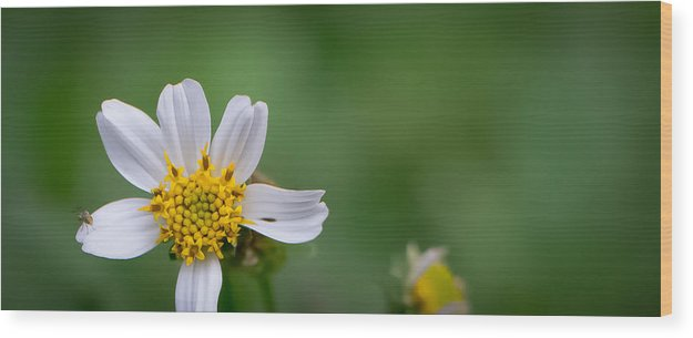 Daisy Wood Print featuring the photograph Wildflower by Jan Herren