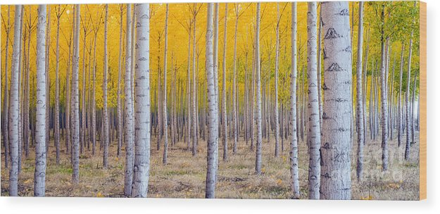 Beauty Wood Print featuring the photograph A Stand Of Trees Begins To Weather Fall by Christopher Boswell