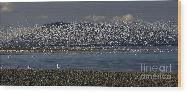 Sea Gulls Wood Print featuring the photograph Sea Gulls by Inge Riis McDonald