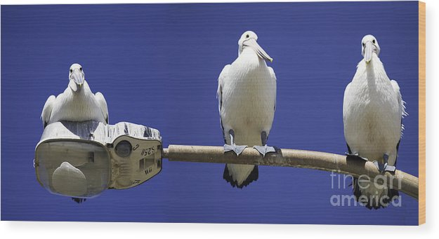 Australian White Pelicans Wood Print featuring the photograph Three Pelicans On A Lamp Post by Sheila Smart Fine Art Photography