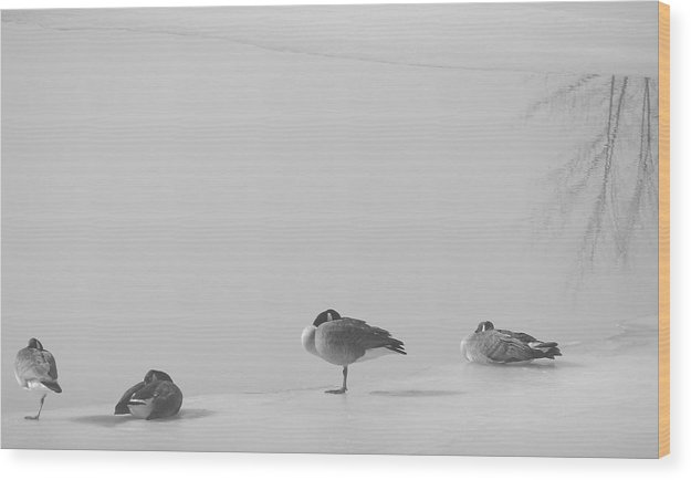 Wood Print featuring the photograph Napping On Ice by Luciana Seymour