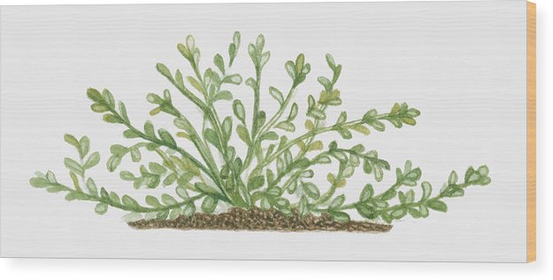 Horizontal Wood Print featuring the digital art Illustration Of Bacopa (waterhyssop) Bearing Succulent Oblanceolate Green Leaves On Creeping Stems by Joanne Cowne