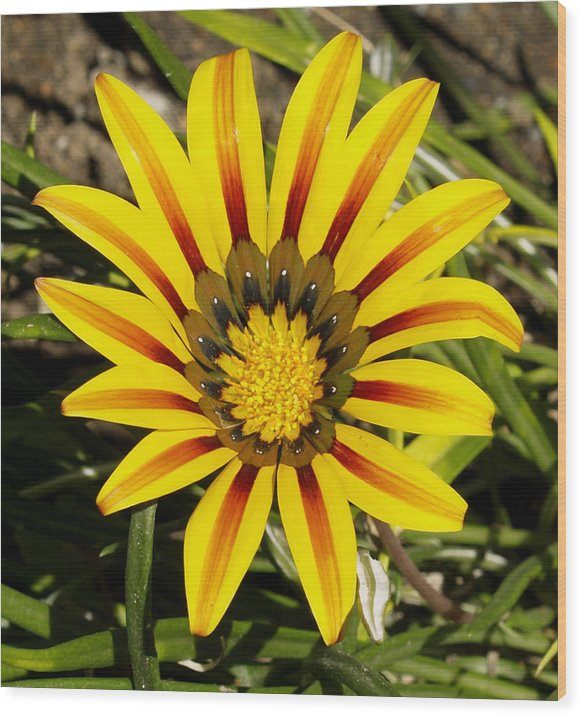 Decor Wood Print featuring the photograph Natural Sun Shine by Ron Kizer