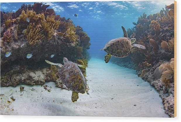 Wood Print featuring the photograph Double Turtles by Andrew Eales