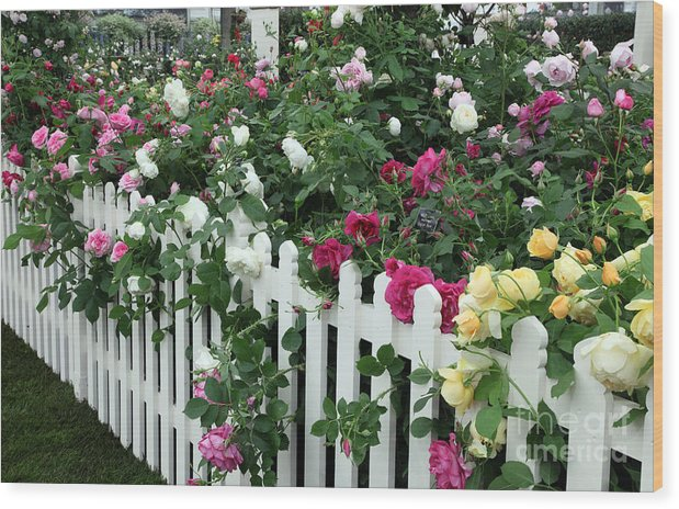 David Austin Wood Print featuring the photograph David Austin Roses Chelsea Flower Show by Ros Drinkwater