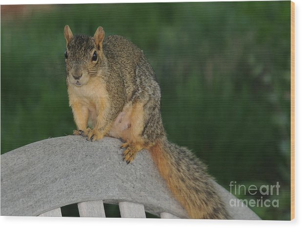 Squirrel Wood Print featuring the photograph Squirrel by Patrick Short