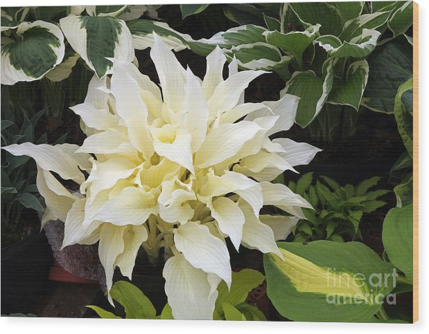 Hosta White Feather Wood Print featuring the photograph Hosta White Feather by Ros Drinkwater