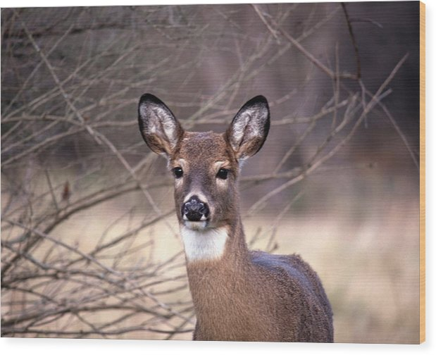 Deer Wood Print featuring the photograph 112601-30 by Mike Davis