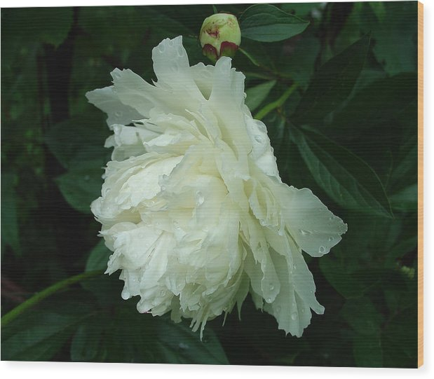 Florals Wood Print featuring the photograph An Elegant Profile Of Softness by Terrance DePietro
