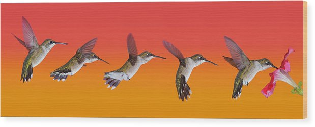 Ruby-throated Hummingbird Wood Print featuring the photograph Juvi Hummingbird Sequence by Leda Robertson