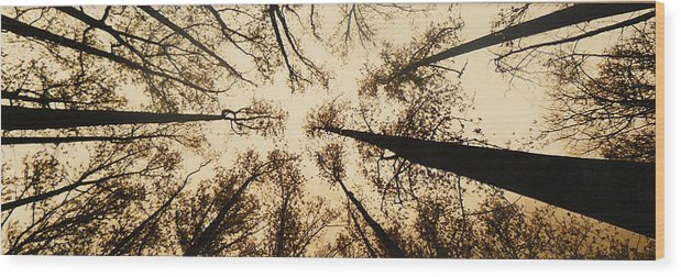 Trees Wood Print featuring the photograph Looking Up by Jack Paolini