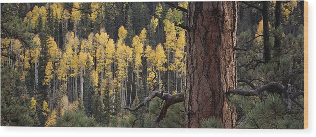 Outdoors Wood Print featuring the photograph A Ponderosa Pine Tree Among Aspen Trees by Bill Hatcher