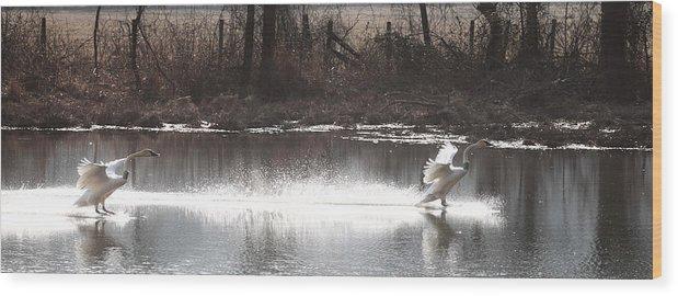 Trumpeter Swans Wood Print featuring the photograph Landing Trumpeter Swans by Michael Dougherty