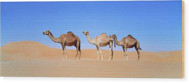 Animal Wood Print featuring the photograph Dromedary Camel (camelus Dromedarius by Martin Zwick
