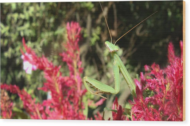 Praying Mantis Wood Print featuring the photograph Mantis by M Urbanski
