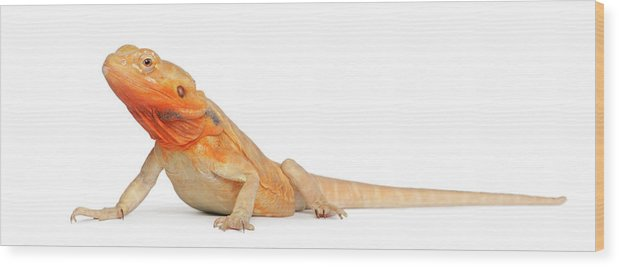 Belgium Wood Print featuring the photograph Silkbacks Scaleless Bearded Dragon by Life On White