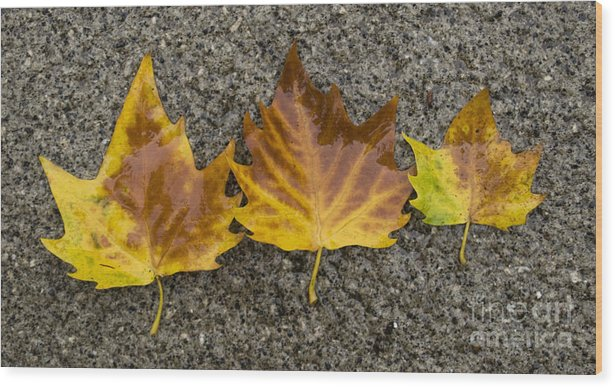 Leaves Wood Print featuring the photograph 3 Wet Leaves by Steev Stamford