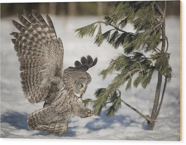 Great Grey Owl Wood Print featuring the photograph Great Grey Owl Pictures 23 by Owl Images