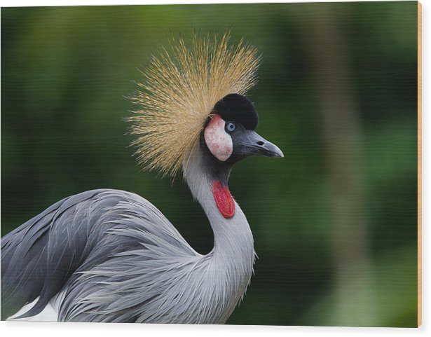 Grey Crown Crane Wood Print featuring the photograph Grey Crown Crane by Wim Swyzen