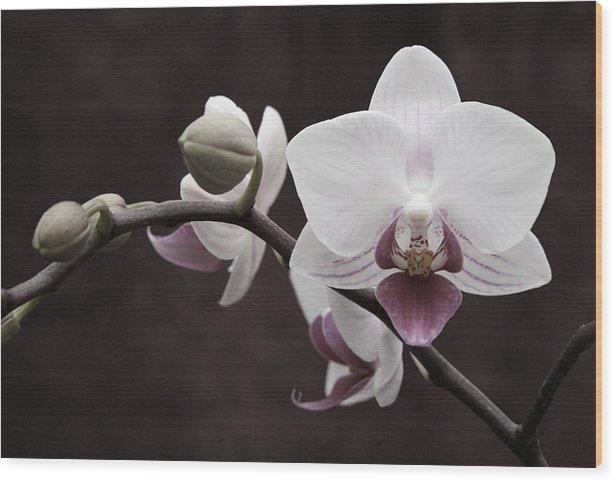 Orchid Wood Print featuring the photograph Orchid by Sally Engdahl