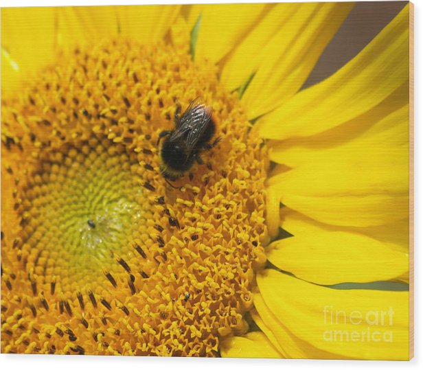 Sunflower Wood Print featuring the photograph Bee On Sunflower by Steev Stamford