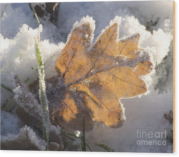 Winter Wood Print featuring the photograph Frozen Oak Leaf by Steev Stamford