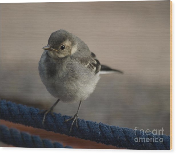 Wagtail Wood Print featuring the photograph Wagtail Balance by Steev Stamford