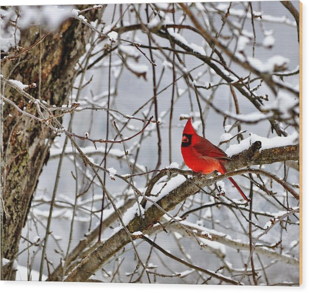 Winter Wood Print featuring the photograph Big Red by Penny Rinker