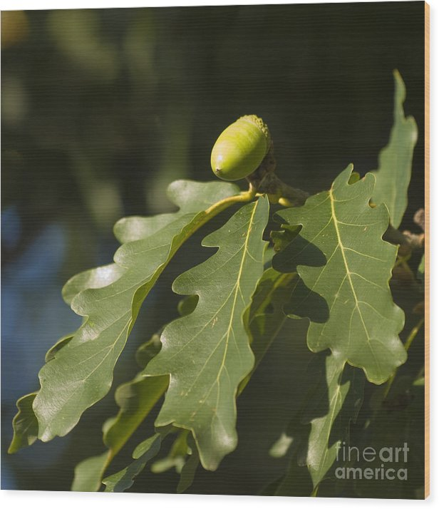 Oak Wood Print featuring the photograph From Little Acorns by Steev Stamford
