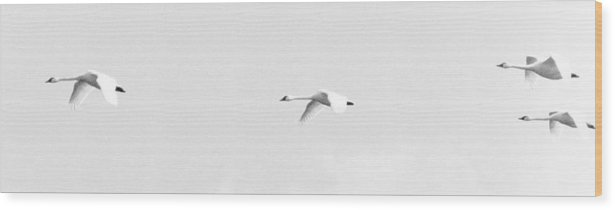 Trumpeter Swan Wood Print featuring the photograph Trumpeter Swans In Flight by Craig Perry-Ollila
