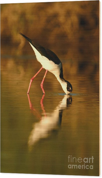 Shorebirds Wood Print featuring the photograph Black-necked Stilt Reflection by John F Tsumas