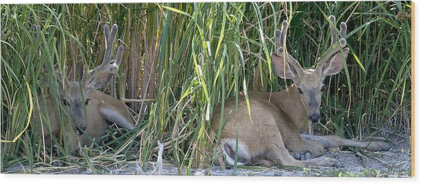 Mule Deer-buck-nature-buck Brush-afternoon Nap-antlers-wildlife-pano Wood Print featuring the photograph Bucks In The Brush by Earl Nelson