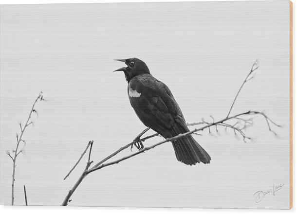 Black Bird Wood Print featuring the photograph Singing Black Bird by David A Lane