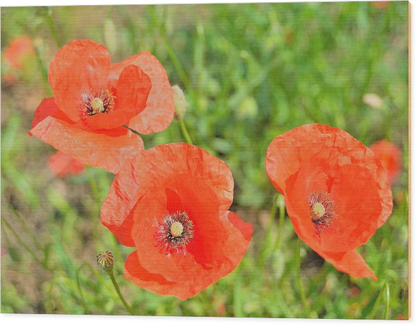 Trio Of Poppies Wood Print featuring the photograph Trio of poppies by Patrick Pestre