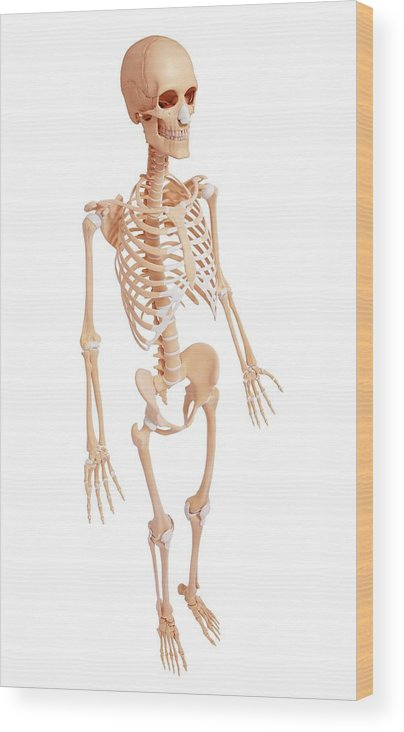Artwork Wood Print featuring the photograph Human Skeleton by Pixologicstudio/science Photo Library
