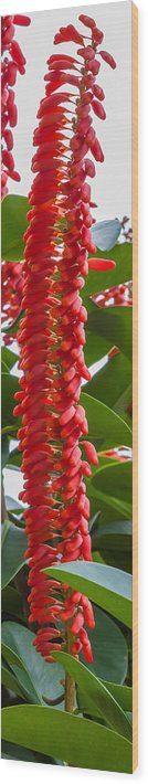 Pitcairnia Wood Print featuring the photograph Spike Of Red Flowers by Craig Lapsley