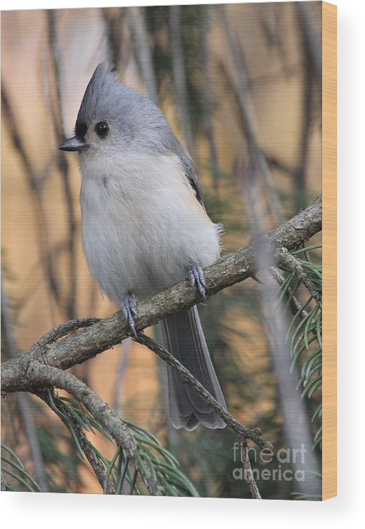 Tufted Wood Print featuring the photograph Tufted Titmouse by Ken Keener