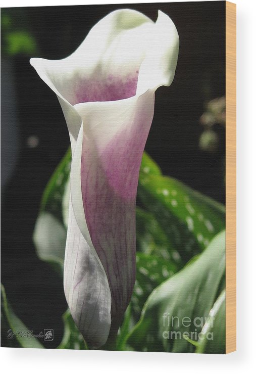 Zantedeschia Wood Print featuring the painting Zantedeschia Named Picasso by J McCombie